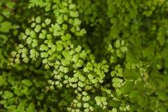 Maidenhair fern Royalty Free Stock Photography