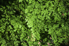 Maidenhair fern Stock Photos