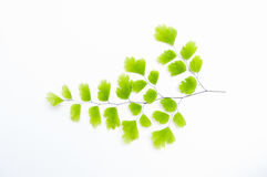 Maidenhair fern leaves Royalty Free Stock Photo