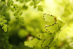 Maidenhair Fern Leaves Closeup Stock Image