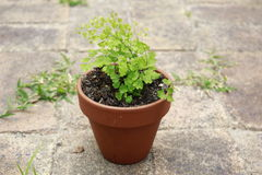 Maidenhair fern in pot Stock Photo