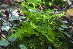 Maidenhair fern prefers a dimly lit light. It is a species of fern with about 200 species royalty free stock images