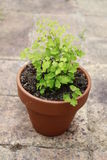 Maidenhair fern Stock Photo