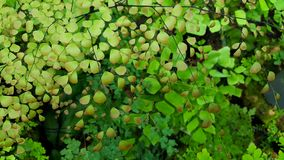 Maidenhair fern in the tropical forest. Maidenhair fern or Adiantum fern in the other species from Thailand Royalty Free Stock Images
