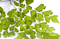 Maidenhair leaves Royalty Free Stock Photos