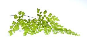 Maidenhair leaves Stock Image