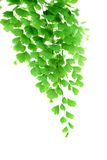 Maidenhair leaves Royalty Free Stock Photo
