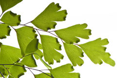 Maidenhair macro Stock Image