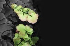 Maidenhair ormbunke med bifärgormbunksblad Arkivfoton
