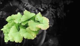 Maidenhair ormbunke med bifärgormbunksblad Arkivbild