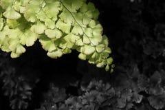 Maidenhair ormbunke med bifärgormbunksblad Arkivfoto