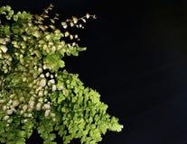 Maidenhair ormbunke på svart bakgrund Royaltyfria Foton