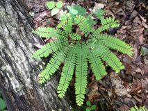 Maidenhair ormbunke, sjödrag, North Carolina Royaltyfria Foton