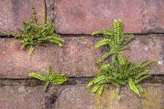 Maidenhair spleenwort Stock Image