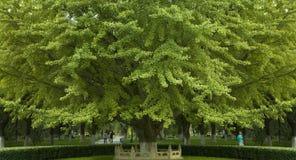 Maidenhair tree Stock Photo