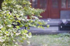 Maidenhair tree Stock Image