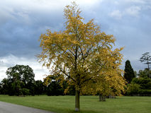 Maidenhair tree. At Blenheim Palace; Churchill Downs Entrance; Churchill Mannor Royalty Free Stock Photo