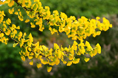 Maidenhair tree. Bright leaves of the maidenhair tree, ginko biloba, in autumn Stock Photos