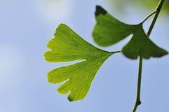 Maidenhair tree Ginkgo biloba leaf. Orange, yellow and cream Marigolds in a field stock photo