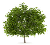 Maidenhair tree isolated on white Stock Photography