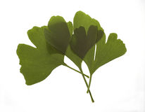 Maidenhair tree leaves. On white background Royalty Free Stock Images