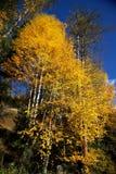 Maidenhair tree Stock Images