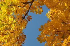 Maidenhair Tree, Yellow, Tree, Autumn Royalty Free Stock Images