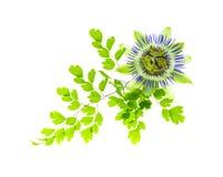 Maidenhairbladeren met passiebloem Royalty-vrije Stock Foto