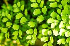 maidenhairormbunke - adiantumbotanisk tr?dg?rd royaltyfria bilder