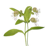 Maidenstears flowers. Bladder campion flowers (Silene vulgaris) isolated on white Royalty Free Stock Photo