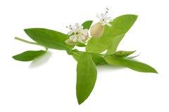 Maidenstears flowers. Bladder campion flowers (Silene vulgaris) isolated on white Royalty Free Stock Image