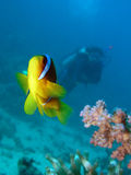 Maidfische Stockfotografie