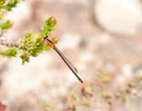 Maidfliege auf Zweig Stockfotos
