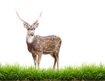 Maie axis deer with green grass Stock Image