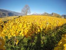 maienfeld瑞士 在秋天期间的葡萄园与桔子和黄色叶子 免版税图库摄影