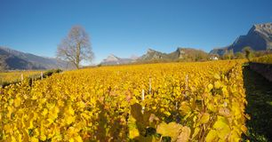 maienfeld瑞士 在秋天期间的葡萄园与桔子和黄色叶子 免版税库存图片