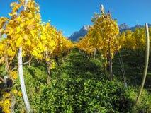 maienfeld瑞士 在秋天期间的葡萄园与桔子和黄色叶子 免版税库存照片