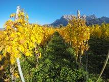 maienfeld瑞士 在秋天期间的葡萄园与桔子和黄色叶子 库存图片