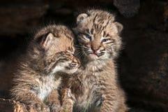 Maigre de Bobcat Kits de bébé (rufus de Lynx) sur l'un l'autre Images libres de droits