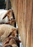 Maigre de moutons contre un mur de Chambre images stock