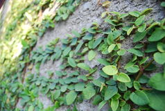 A mail box on the ficus pumila green wall Stock Image