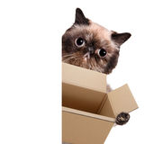 Mail cat in with a big moving box Royalty Free Stock Photo