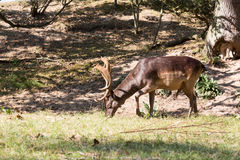 Mail Fallow deer. Male dark brown fallow deer eating grass Royalty Free Stock Photo