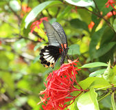 Mail great mormon butterfly perching on red ixora flower Stock Image