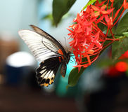 Mail great mormon butterfly perching on red ixora flower Stock Images