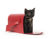 Mail order kitten Royalty Free Stock Photo