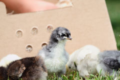 Mail Ordered Blue Cochin Chick with Others Royalty Free Stock Photos