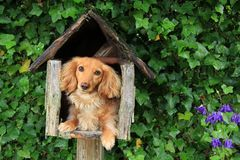 Mailbox puppy. Dachshund puppy in a mailbox. Also available in vertical stock image