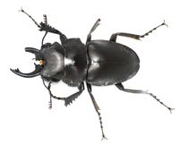 Maimed male stag beetle Royalty Free Stock Photo