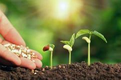 Main agricole consolidant l'étape croissante d'usine d'engrais sur le soi images stock